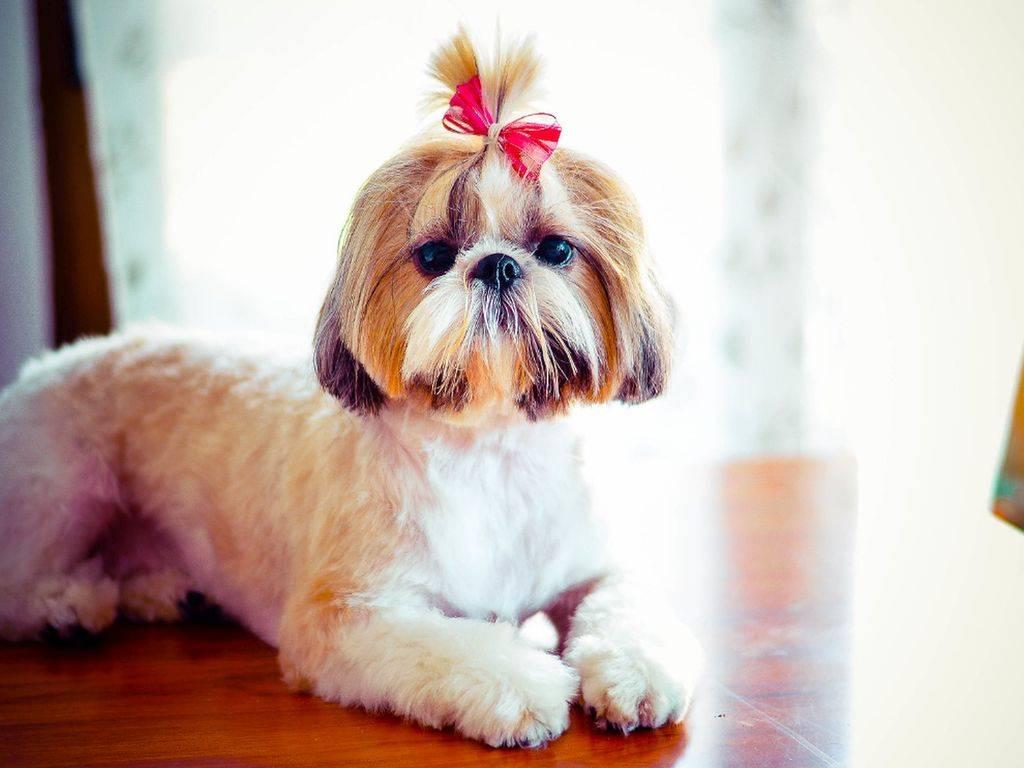 Ши-тцу (39 фото): описание породы собак шицу, особенности характера щенков и взрослых животных, характеристика и недостатки. отзывы владельцев