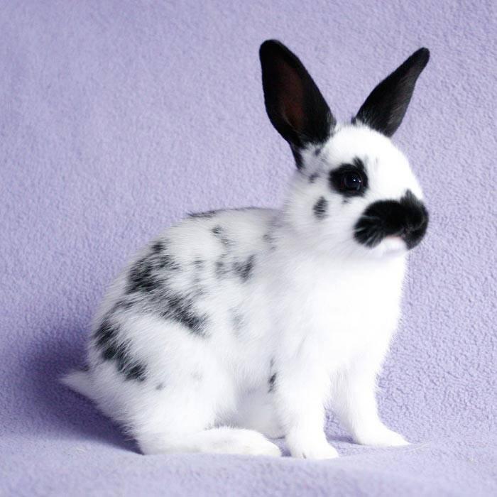 Как выглядят кролики породы бабочка: характеристики внешности и других нюансов