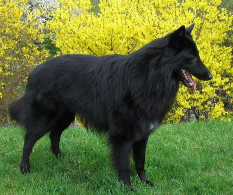 Бельгийская овчарка - разновидности породы, характер и дрессировка щенков, цена и фото