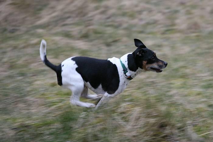 Датско-шведская фермерская собака — описание породы (с фото)