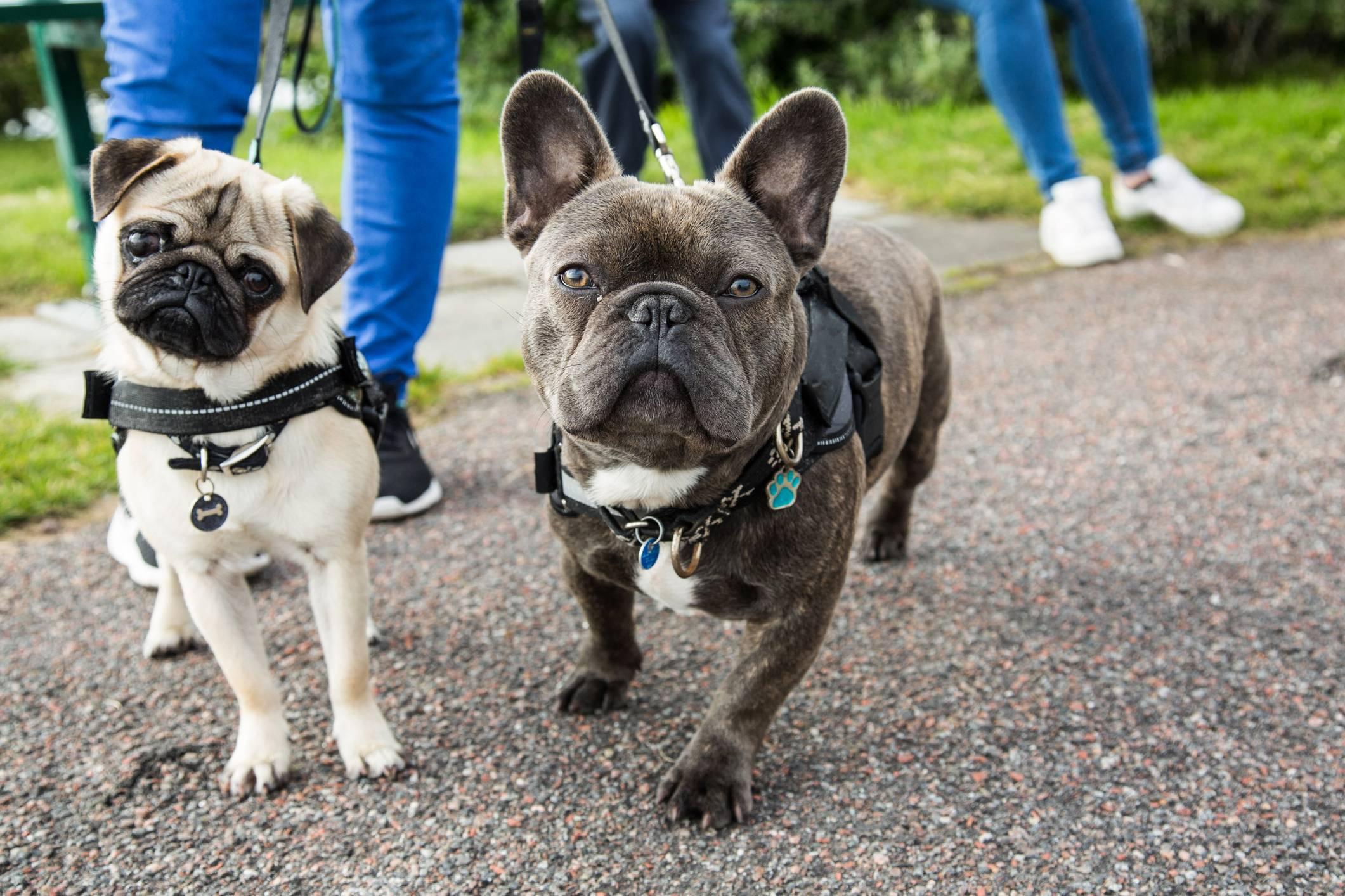 Бостон-терьер и французский бульдог: отличия собак в характере и окрасе, и кого выбрать в качестве домашнего любимца