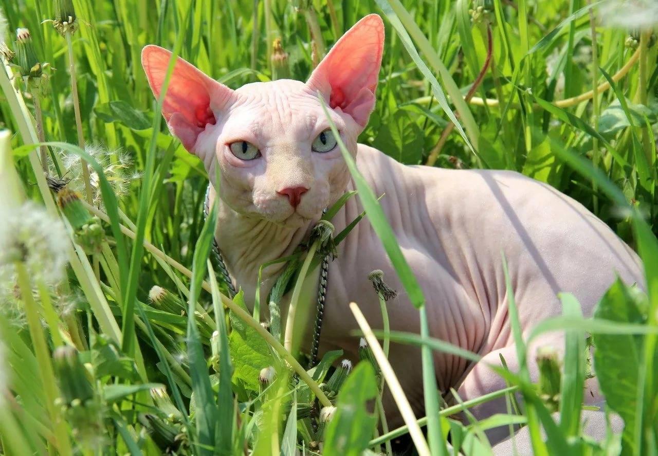 Донской сфинкс – добродушная и ленивая лысая кошка