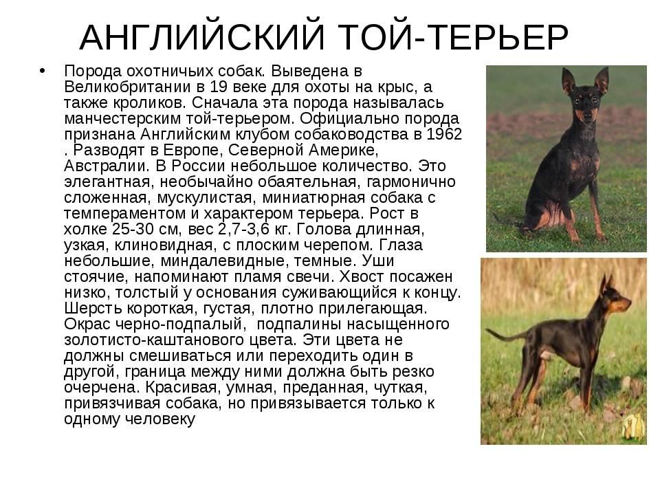 Московский дракон: подробное описание редкой породы (фото и видео)