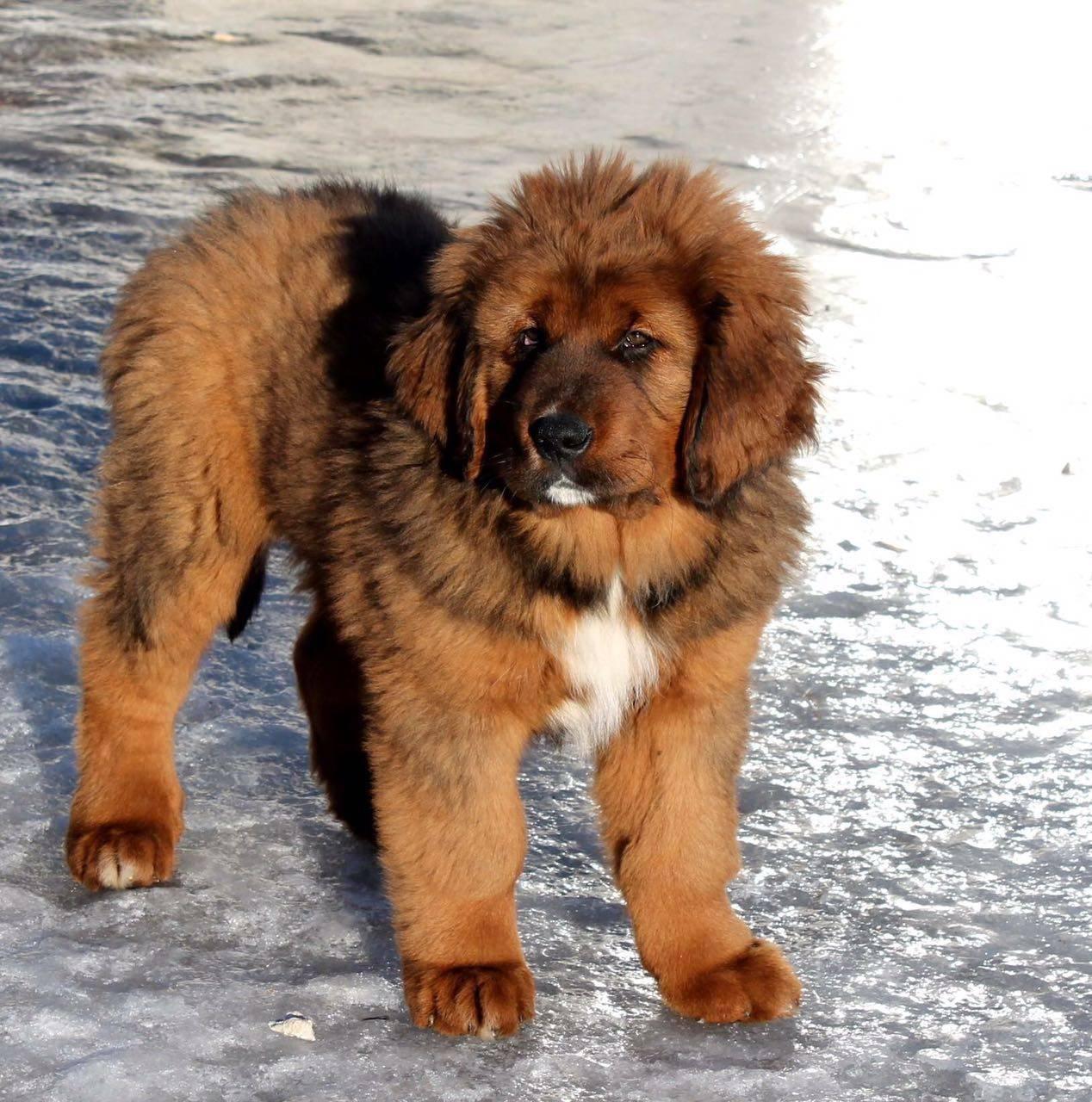 Английский мастиф: все о собаке, фото, описание породы, характер, цена