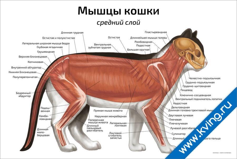 Анатомия и физиология кошки — клуб любителей кошек алиса-бест ярославль