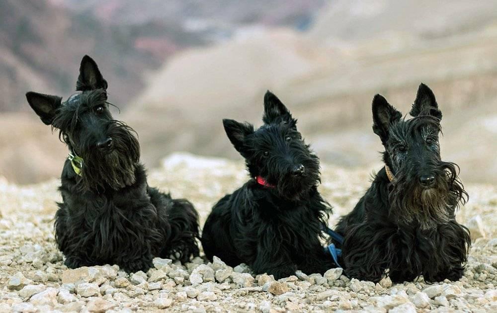 Характеристика собак породы скотч терьер с отзывами и фото