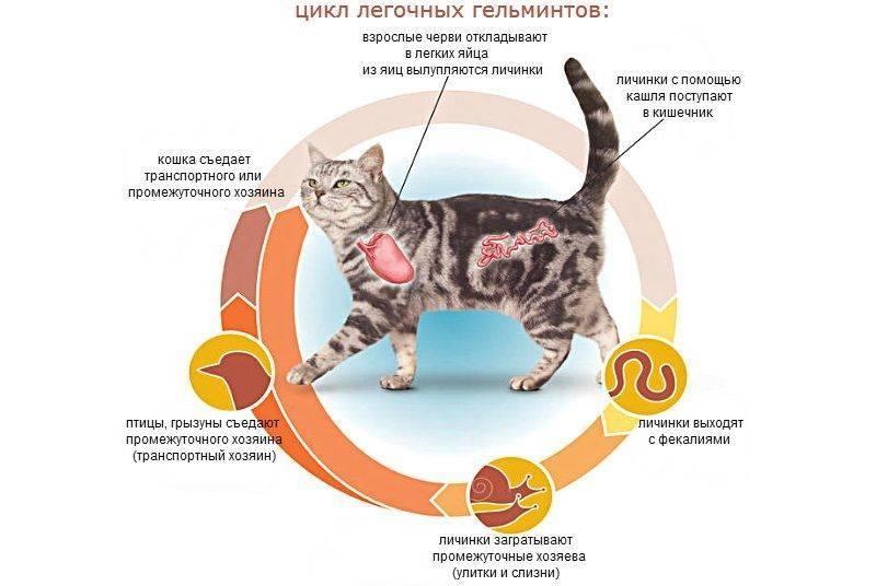 Глисты у кошек: симптомы и лечение, причины и пути заражения, виды глистов у кошек, последствия, как вывести