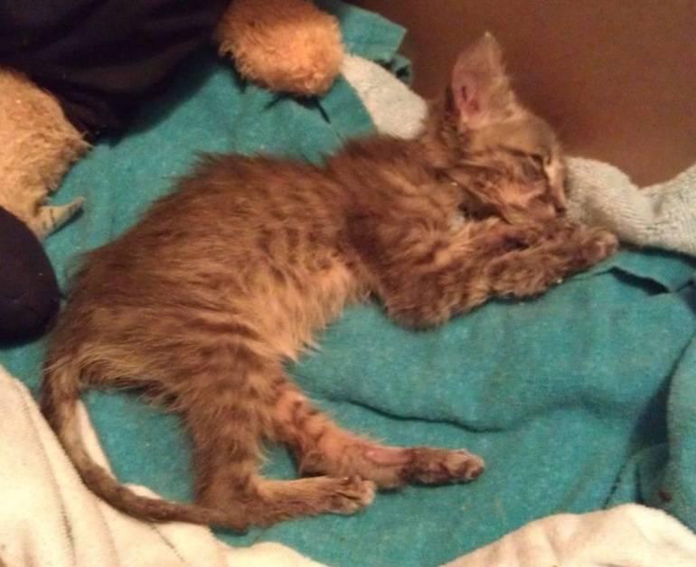 Понос у кошки: симптомы и причины жидкого стула у котенка и взрослой особи, разновидности, диагностика и лечение диареи у котов