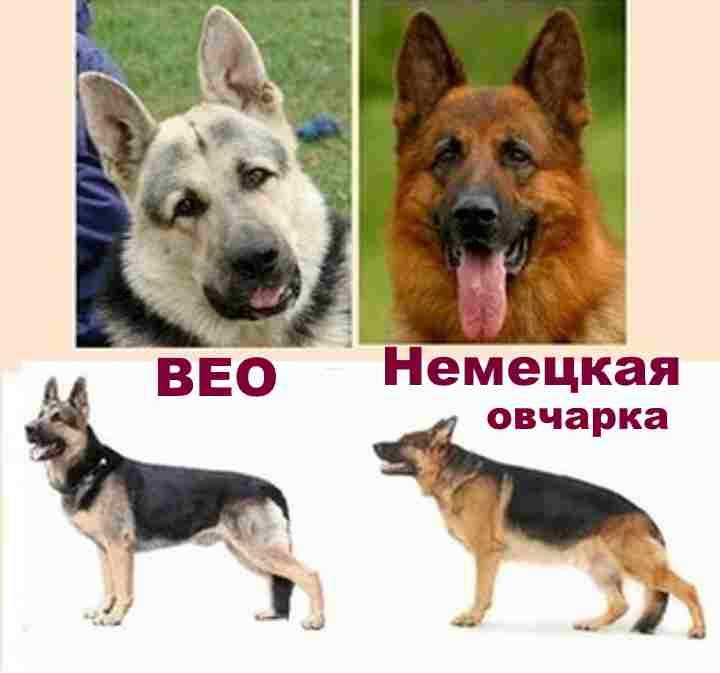 Немецкая овчарка: всё о немецкой овчарке,фото, характер | dogkind.ru