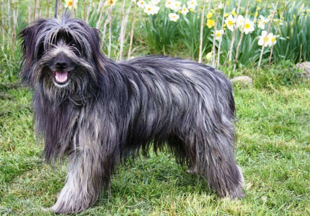 Информация о породе пиренейская горная собака и особенностях ее характера