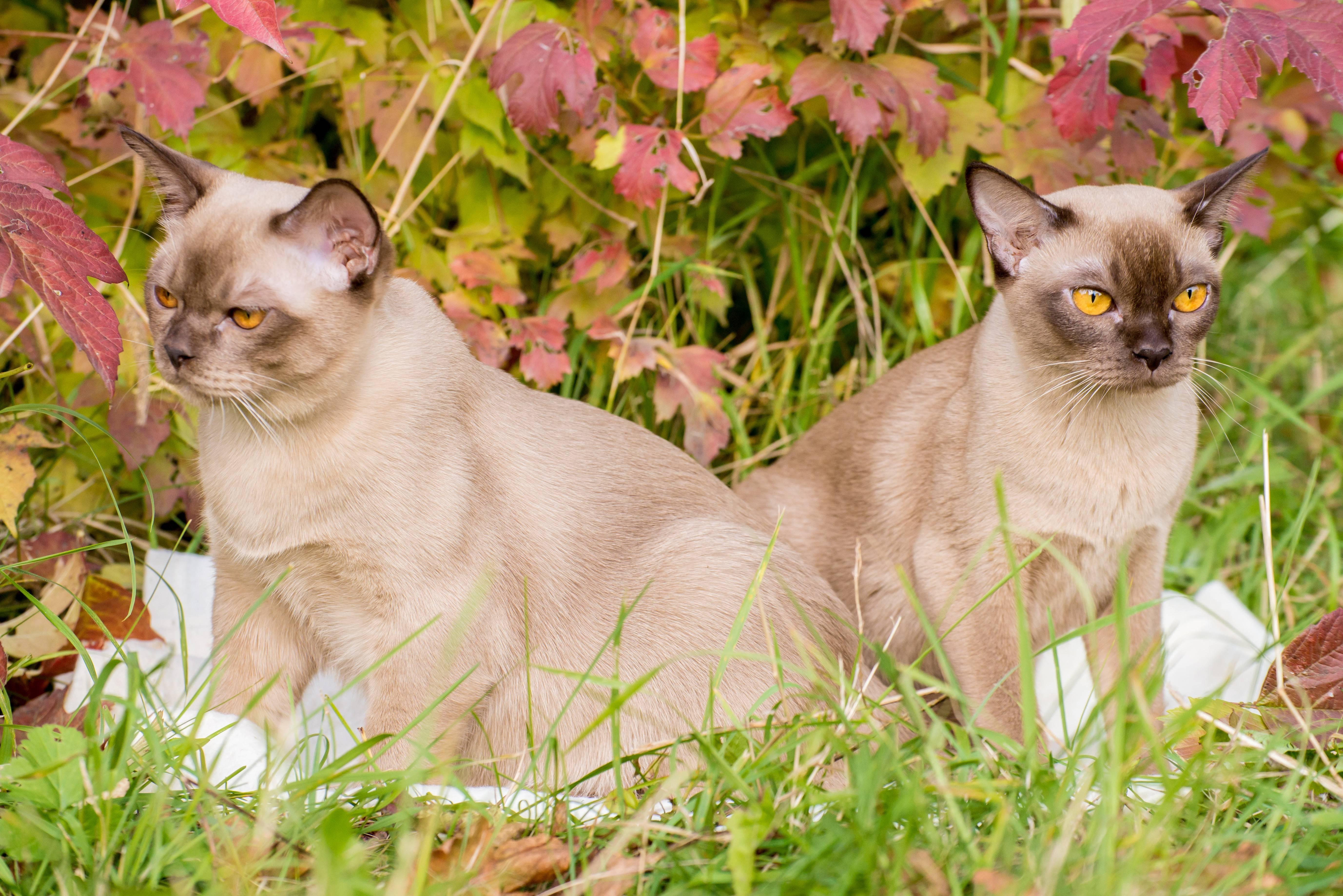 Описание породы бурманская кошка – есть ли вообще у этой красавицы отрицательные черты?