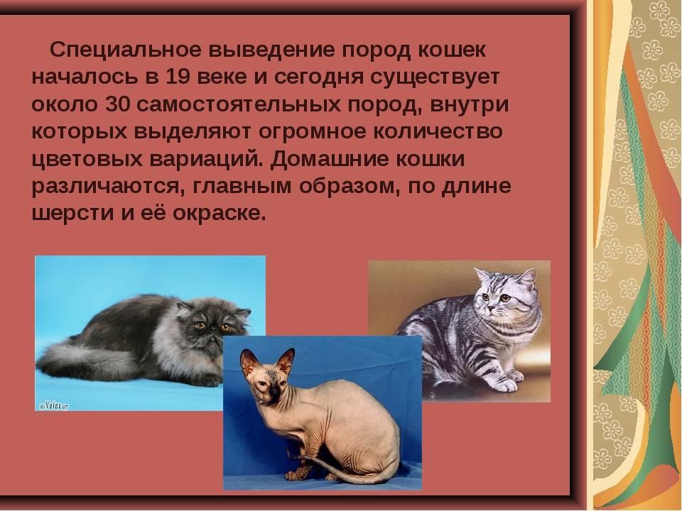 Информация о мэнской бесхвостой кошке и черты ее характера