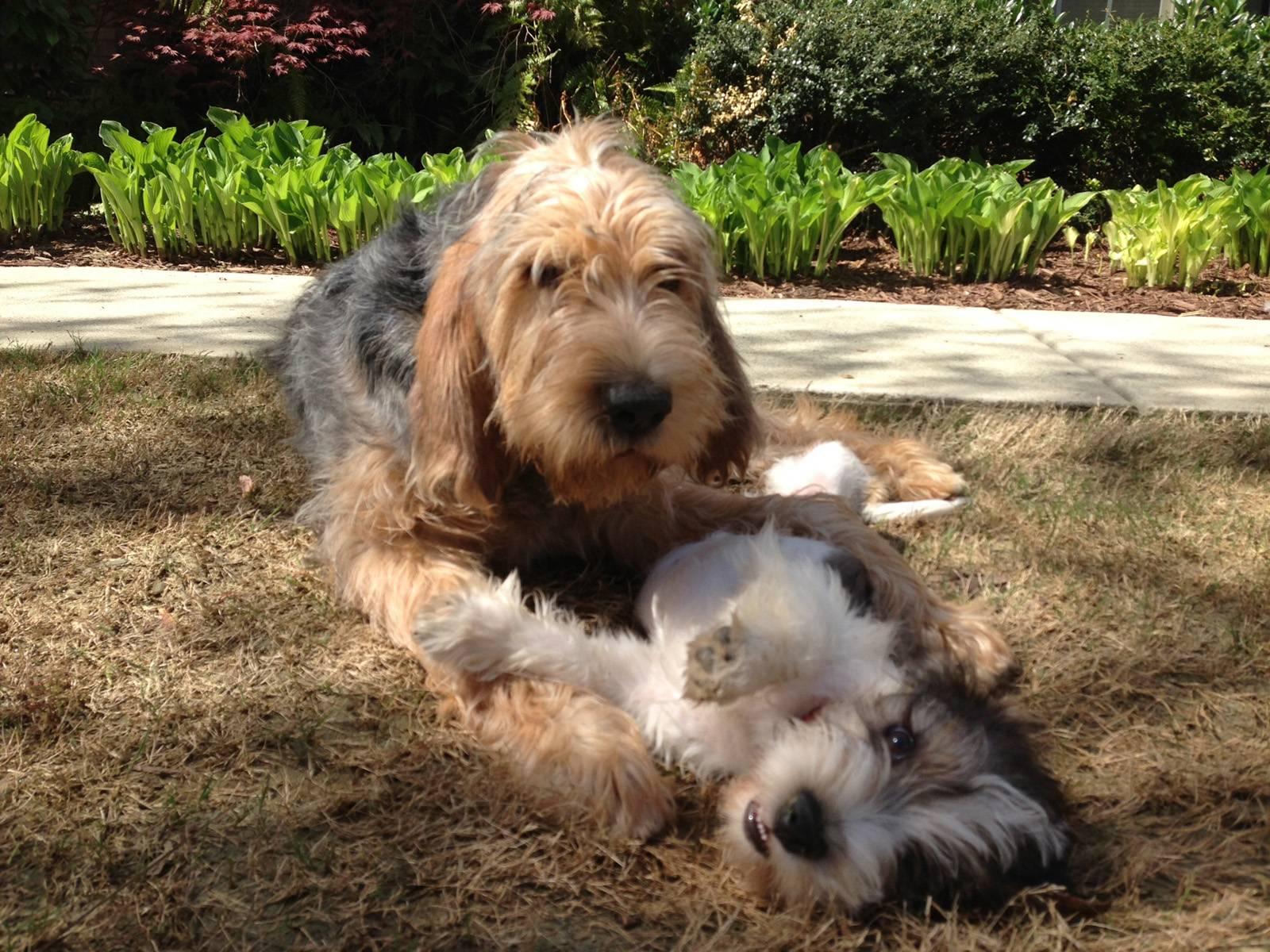 Бладхаунд: все о собаке, фото, описание породы, характер, цена