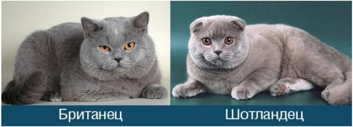 Особенности шотландских котов: все о внешнем виде и темпераменте породы