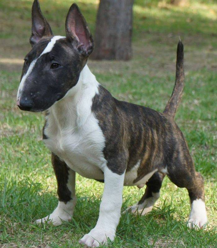 Собака бультерьер: характеристика породы, уход