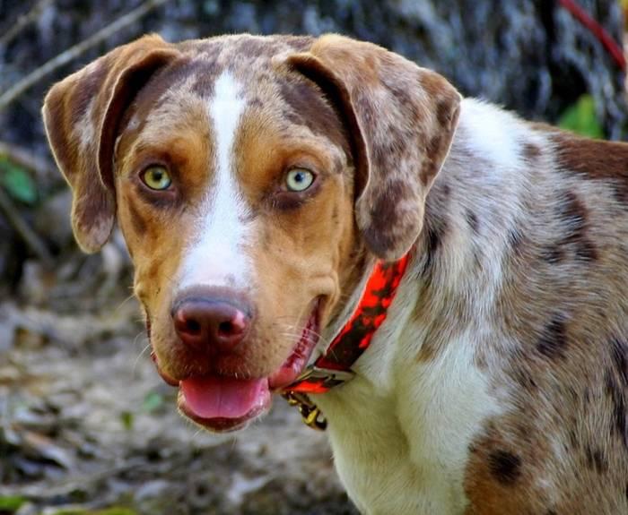 Леопардовая собака катахулы — википедия
