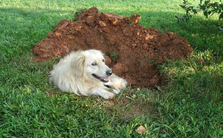 Почему собака ест землю: причина | на улице, чего не хватает