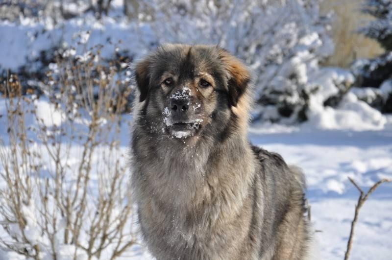 Анатолийская овчарка собака. описание, особенности, характер, уход и цена породы | живность.ру