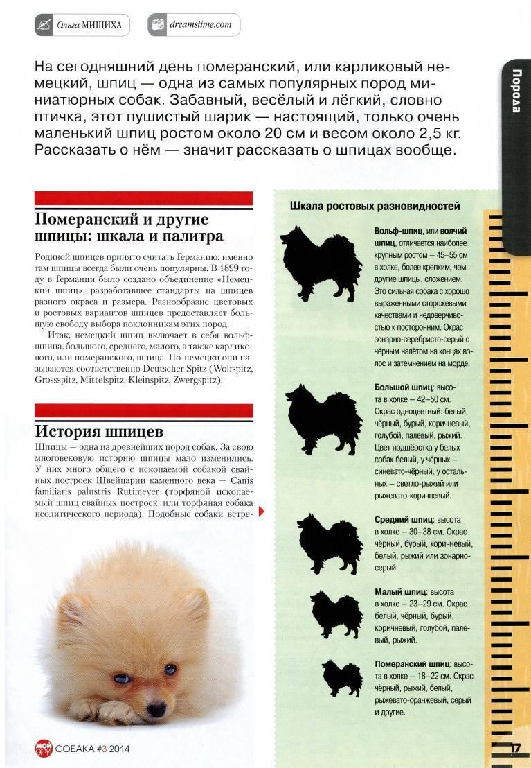 Немецкий шпиц (69 фото): описание и характер собак породы немецкий шпиц, черные и белые щенки. сколько живет карликовый шпиц? стрижка собаки