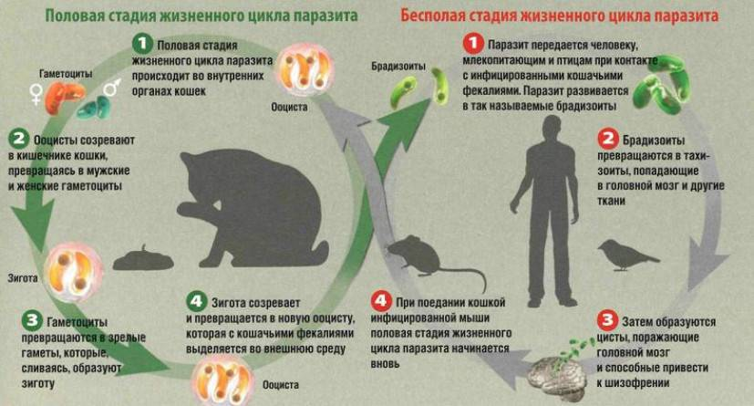 Можно ли заразиться глистами от кошек: какие паразиты передаются от животного?
