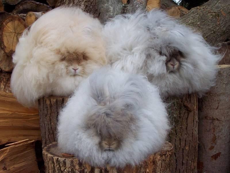 Ангорский кролик, исторические факты, характеристика пород, содержание