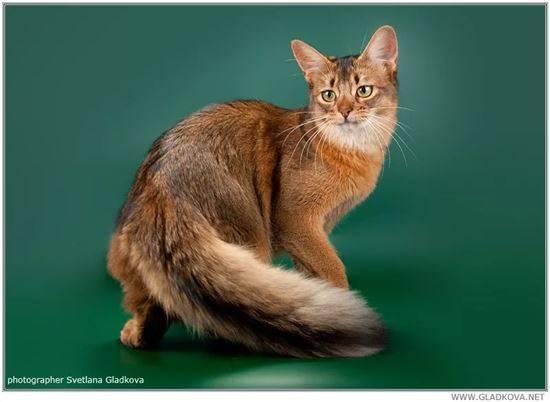 Сомалийская кошка: описание породы, фото, характер, видео