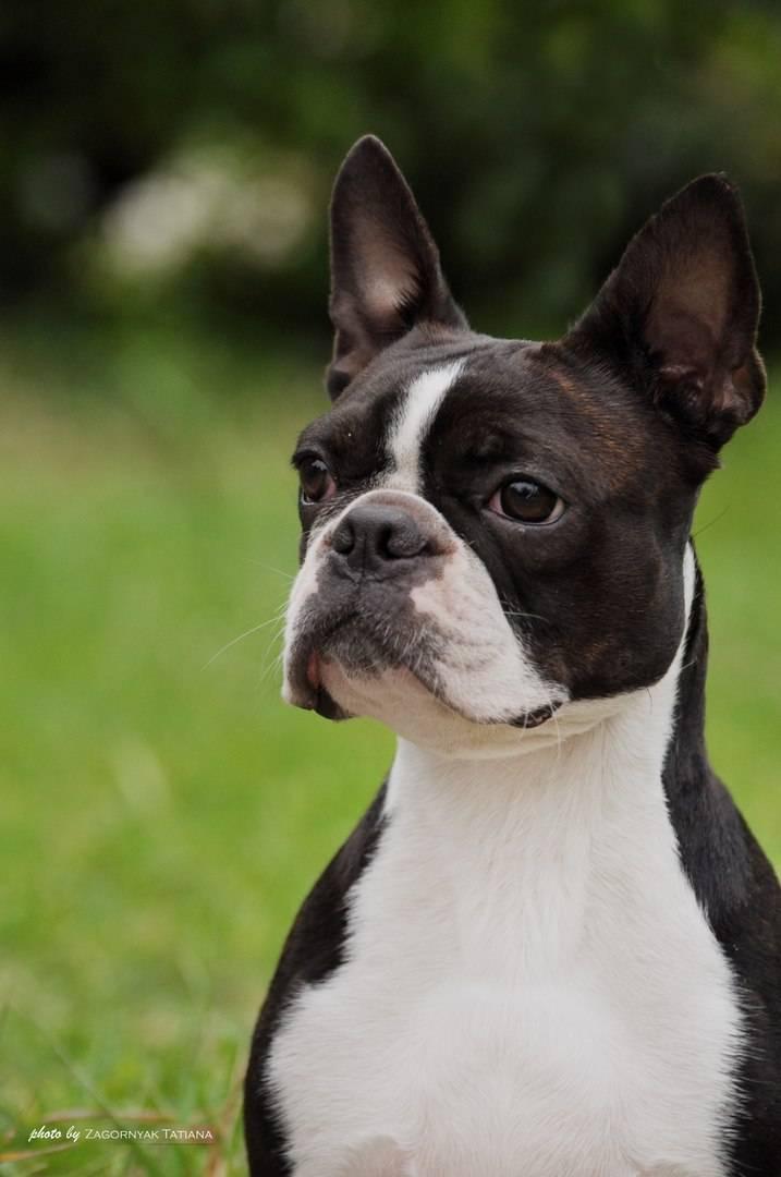 Бостонский терьер: описание, характер, уход, фото | все о собаках