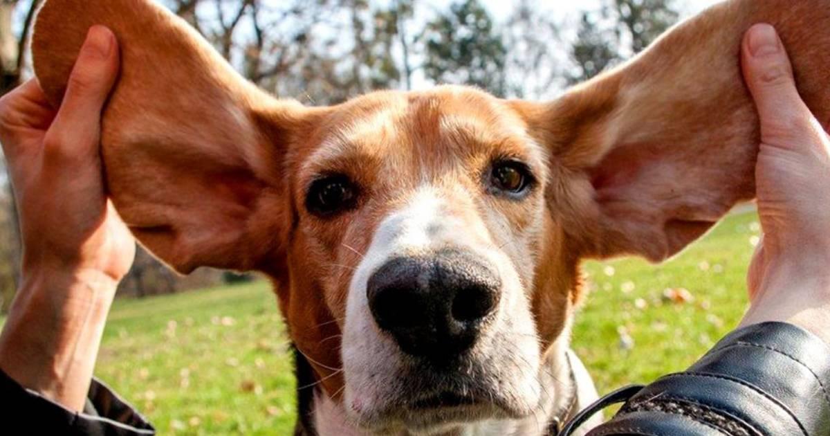 Спокойные породы собак для квартиры