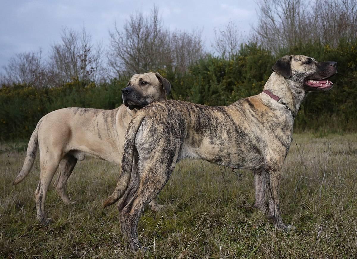Уругвайский симаррон. все про породу собаки, фото и правила содержания | изюминки