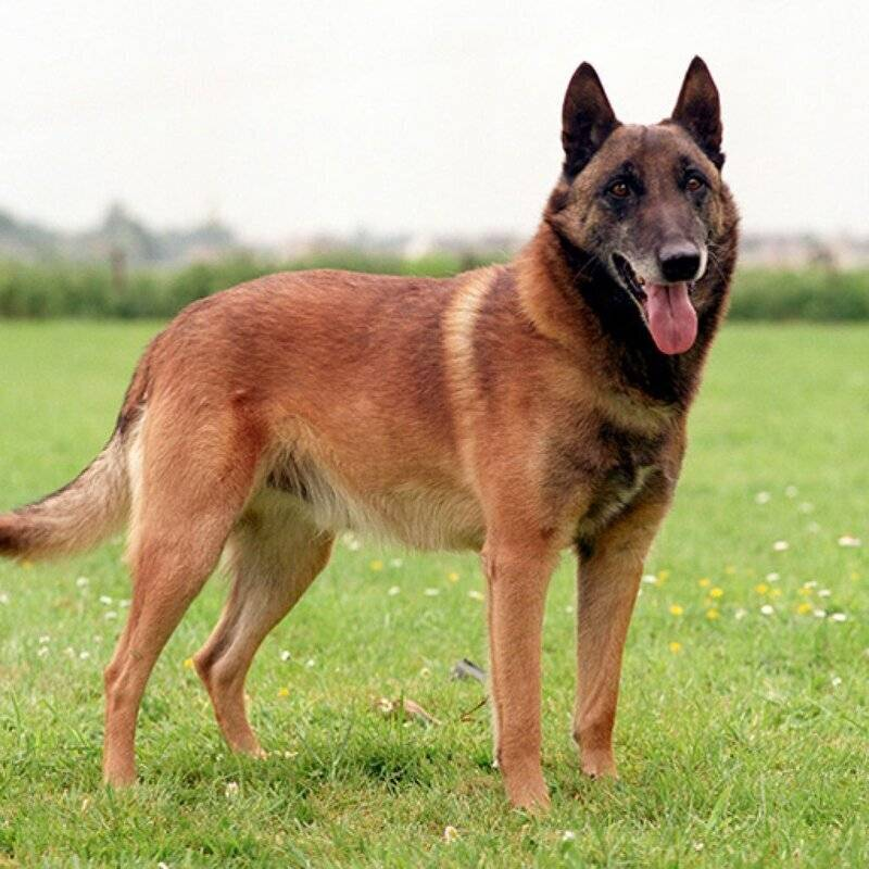 Бельгийская овчарка – универсальная собака