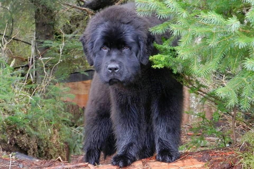 Описание и особенности собаки породы водолаз