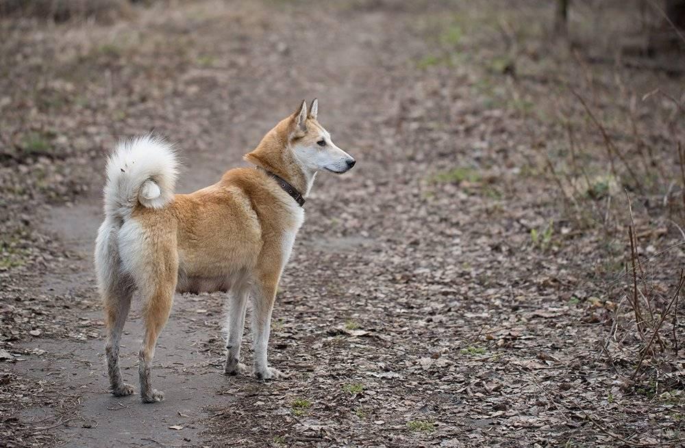 Как выглядит лайка западно сибирская, фото и характер щенков
