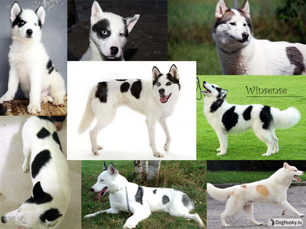 Окрасы сибирского хаски – редкие и популярные, уход за шерстью собаки