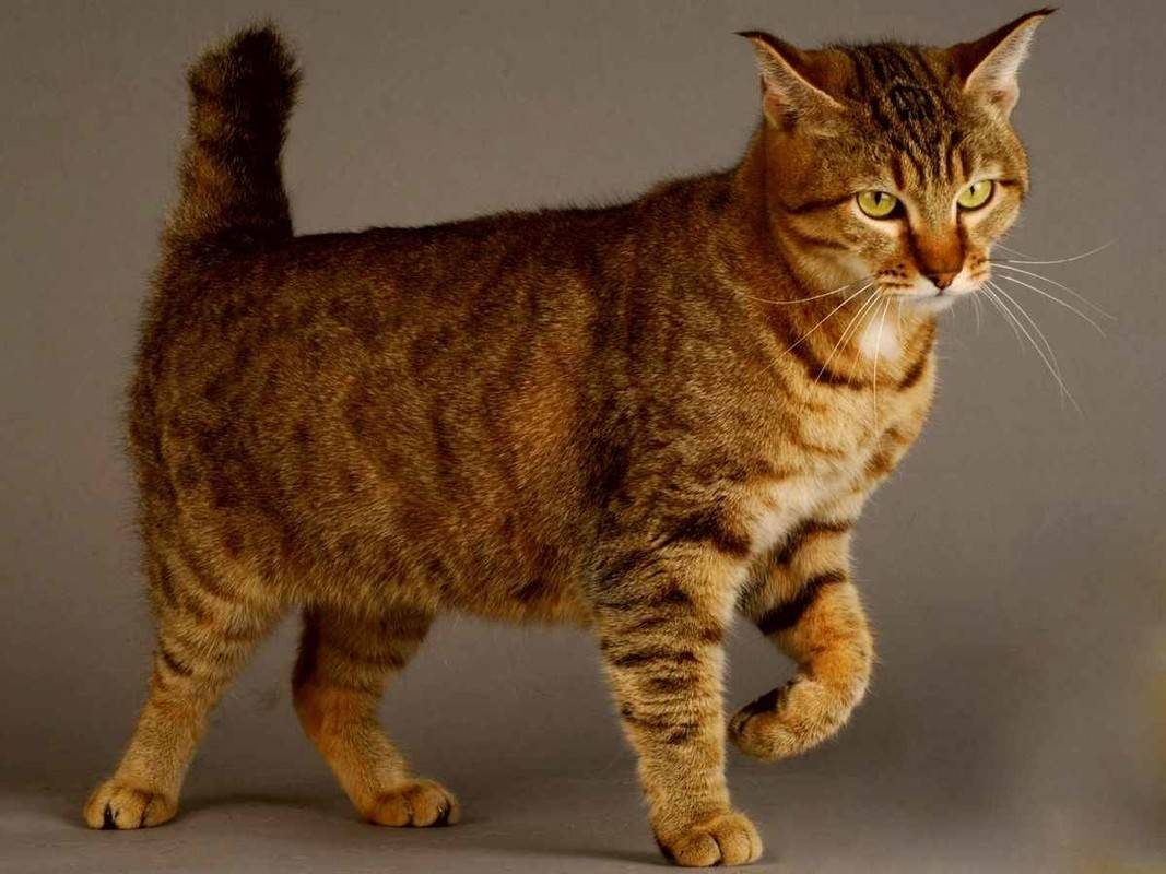Кошки пиксибоб: описание породы, характер, особенности ухода, история выведения