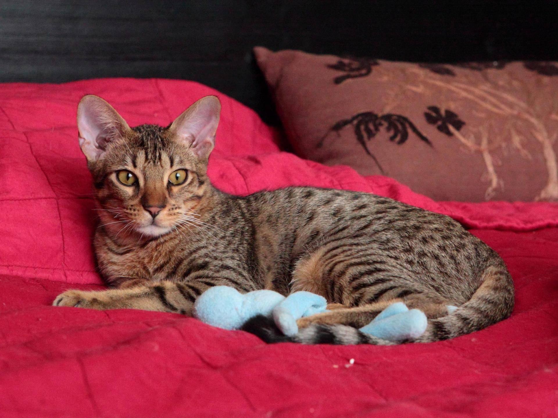 Кошка тойгер: описание внешности и характера, уход за питомцем и его содержание, выбор котёнка, отзывы владельцев, фото кота
