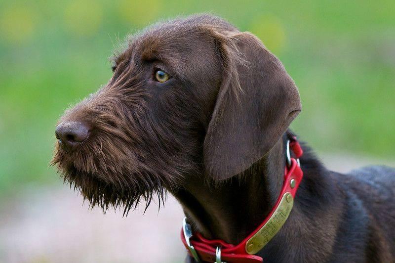 Пудель: все о собаке, фото, описание породы, характер, цена - kotiko.ru