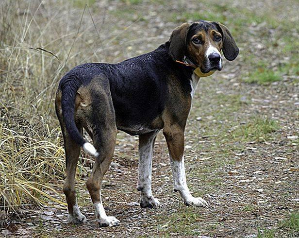 Гончие собаки (45 фото): эстонкие и английские пегие, литовские собаки и другие виды. содержание охотничьих псов. выбор щенка