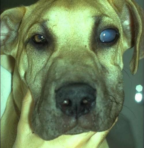 Парвовирусная инфекция собак