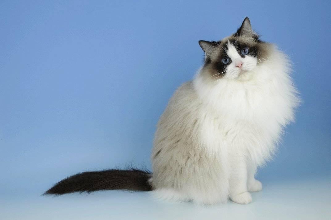 Рагамаффин — описание уникальной породы кошек от а до я. фото, окрас, характер, содержание, стандарты, цена