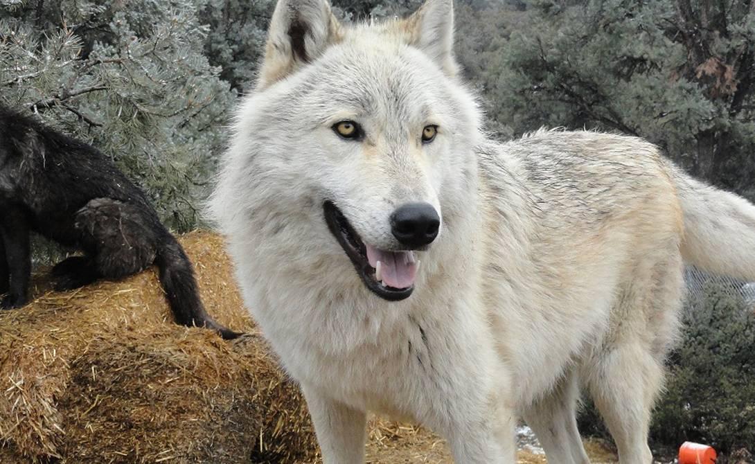 Волк: где живет, как выглядит, фото, видео