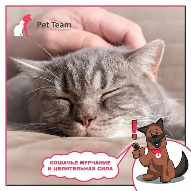 Почему кошки мурлыкают - рядом с человеком, когда их гладишь, и мнут когтями, откуда издается звук, как это происходит, и ложатся на хозяев