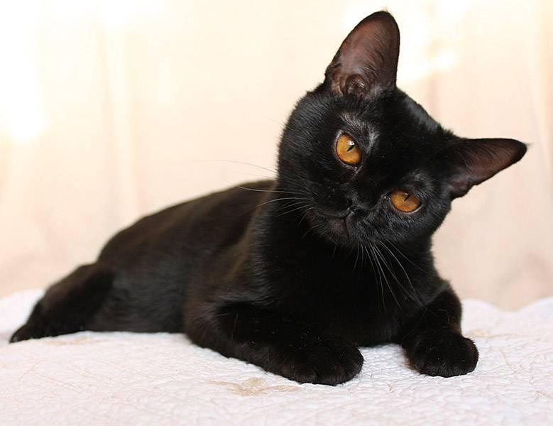 Бомбейская кошка - фото, характер, питание, цена