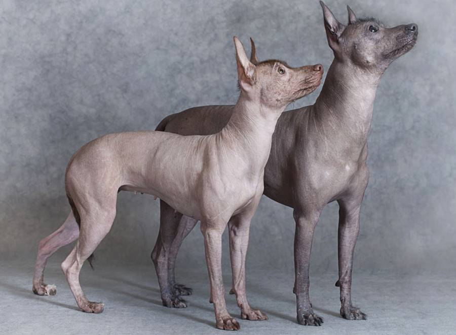 Ксолоитцкуинтли — 120 фото собаки, описание породы, цена, особенности поведения и воспитания