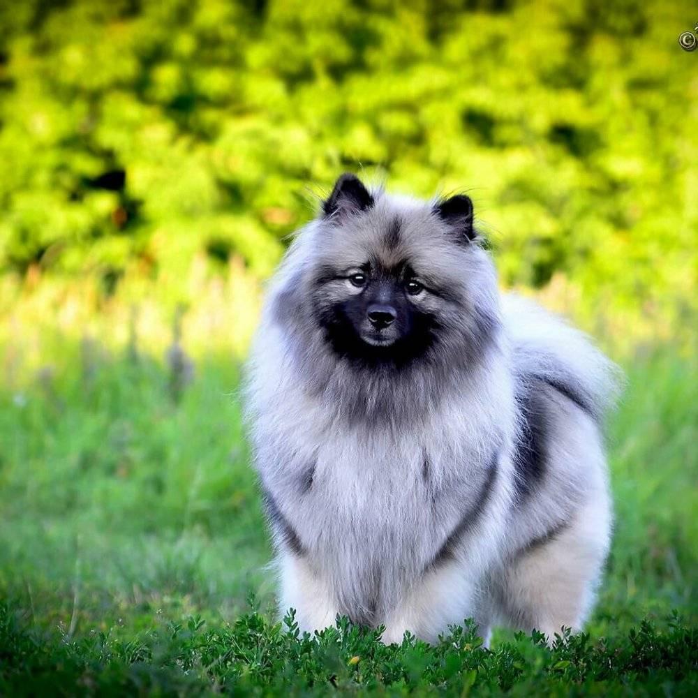 Вольфшпиц (120 фото породы собак) - описание, история, содержание, характер, окрас и многое другое о породе вольфшпиц