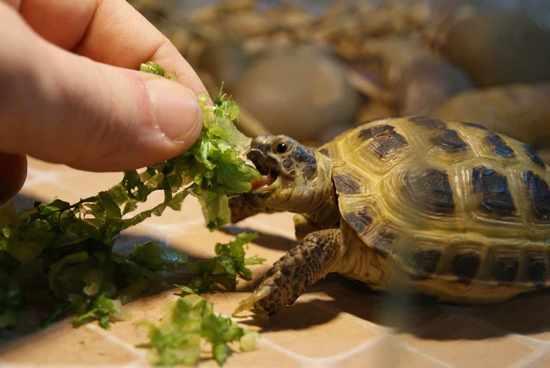Продолжительность жизни черепах