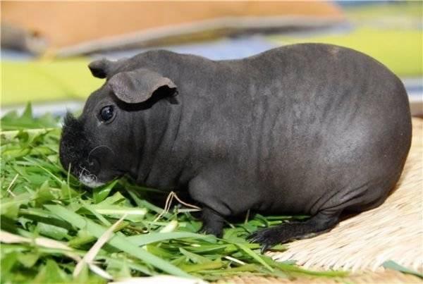 Популярные породы морских свинок: фото, названия