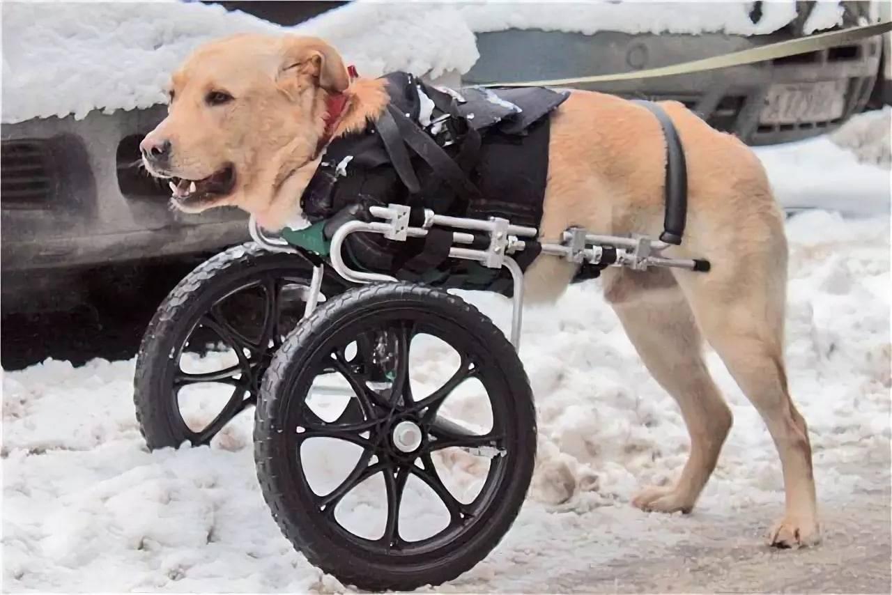 ᐉ инвалидная коляска для собаки - ➡ motildazoo.ru