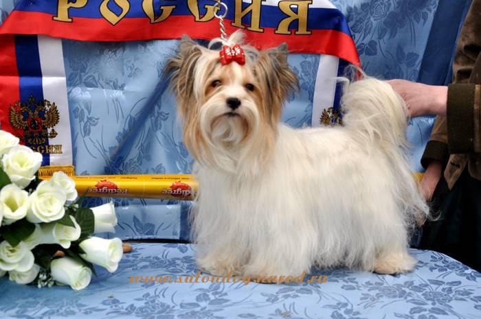 Русская салонная собака (русалка): описание породы с фото и видео