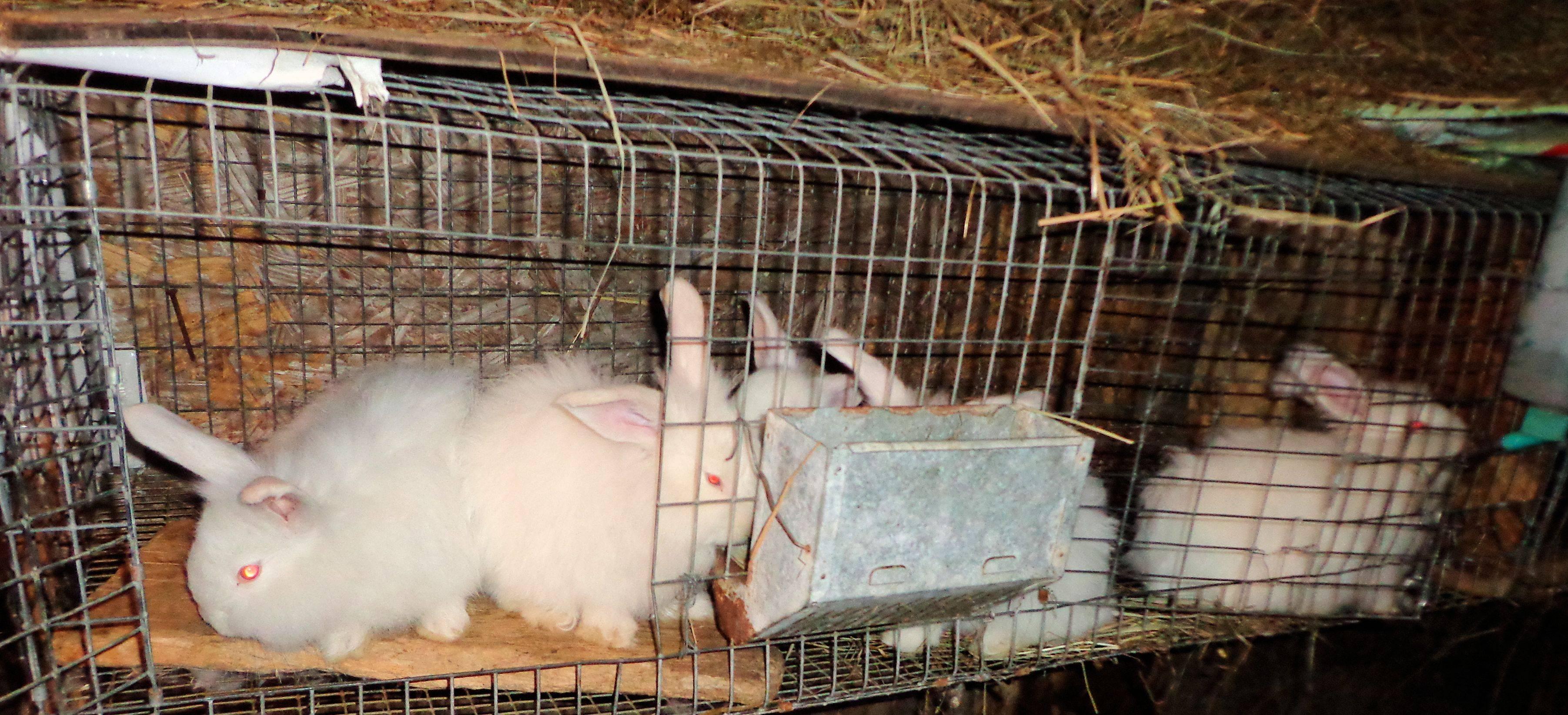 Декоративный кролик: уход и содержание в домашних условиях