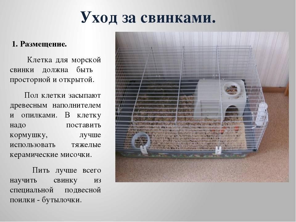 Морские свинки: уход, содержание, кормление и купание в домашних условиях